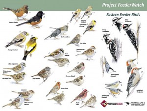 (click for fullsize) Bird Watching, Eastern Feeder Birds, Project Feederwatch