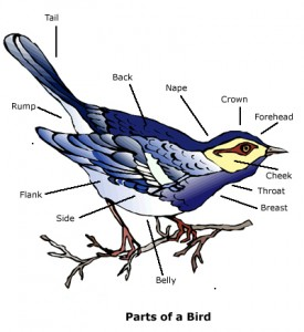 Bird Watching, Parts of a Bird