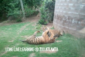Zoo Atlanta Members Only Night Tigers