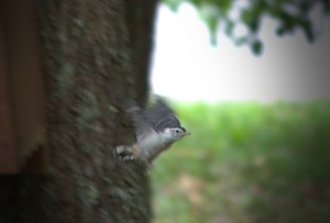First Flight for White Breasted Nuthatch