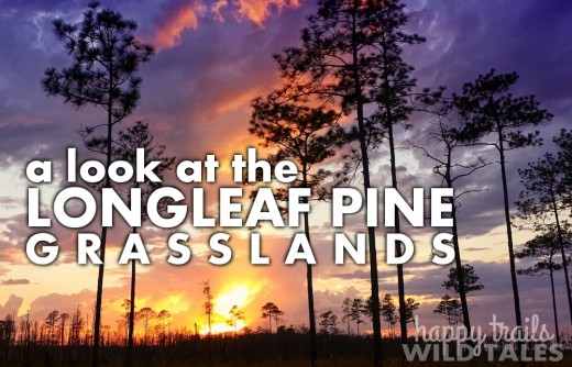 A look at the longleaf pine-grasslands