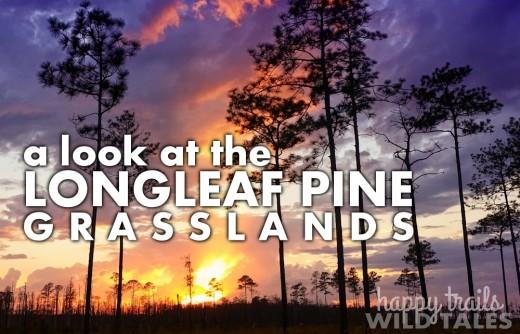 A look at the longleaf pine-grasslands