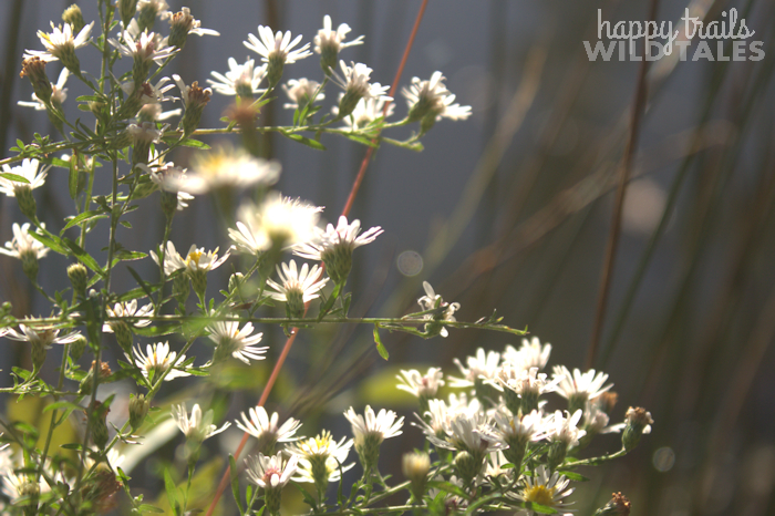 Sweetwater, white Asters